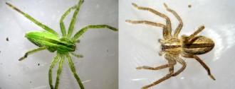 Collage Micrommata